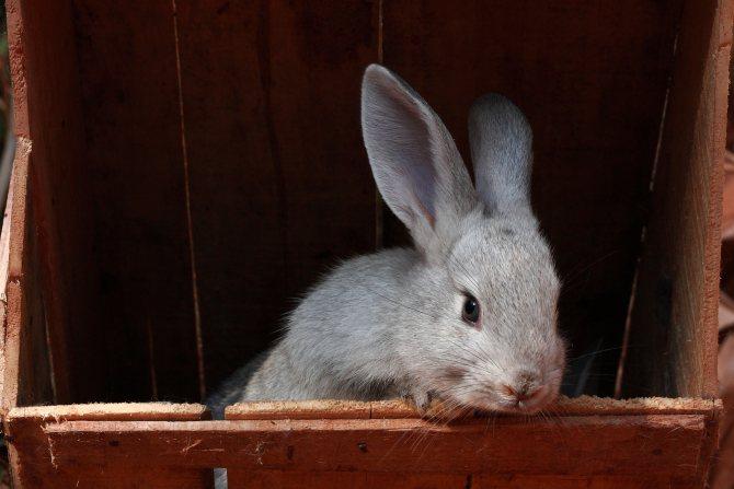 Кролики породы советская шиншилла: фото, описание