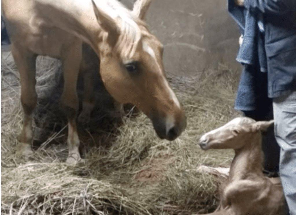 Как рожают лошади - ogorodguru
