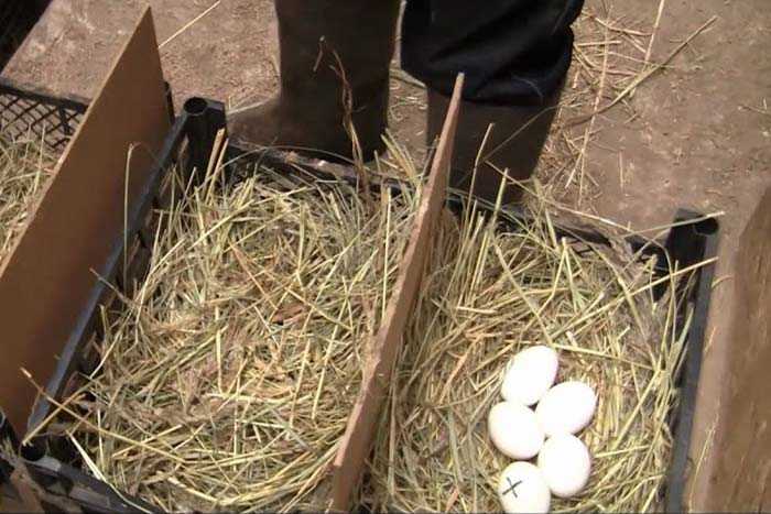 Когда гуси начинают нести яйца