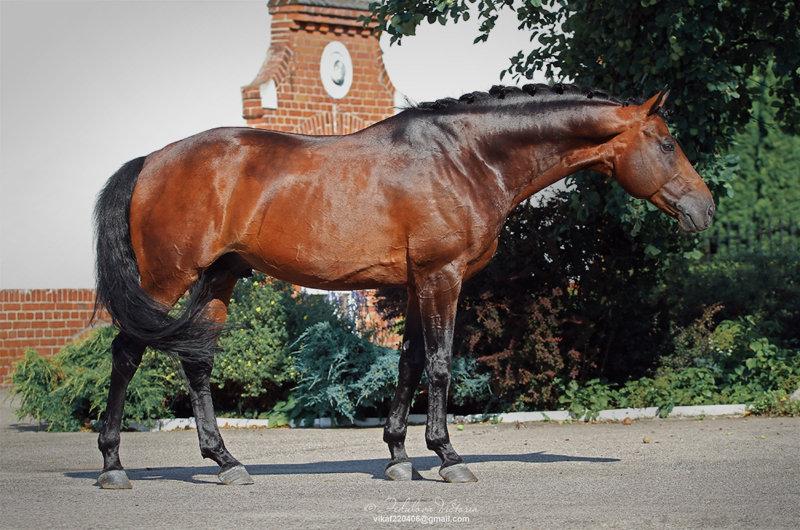 ᐉ ганноверская порода лошадей: история, характеристика, использование - zooon.ru