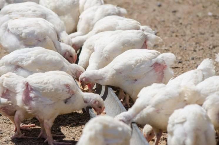 Индюшата (24 фото): выращивание и уход за птенцами от 0 до 4 месяцев. чем кормить суточных птиц? как вырастить индюка в домашних условиях без потерь?