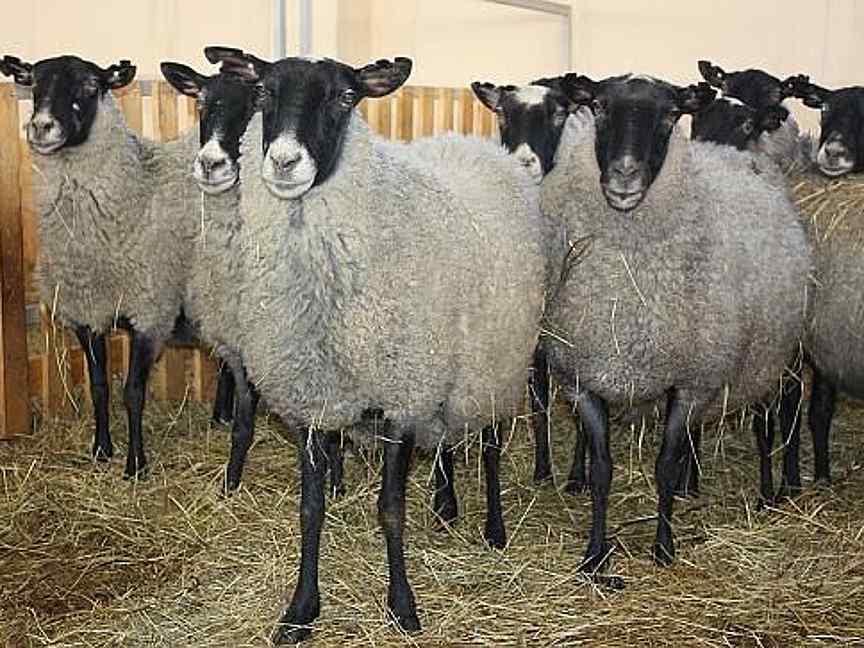 Романовская порода овец