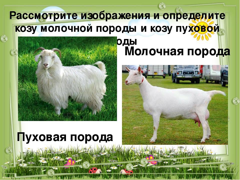 О содержании коз: в домашних условиях для начинающих, уход за дойной, помещение