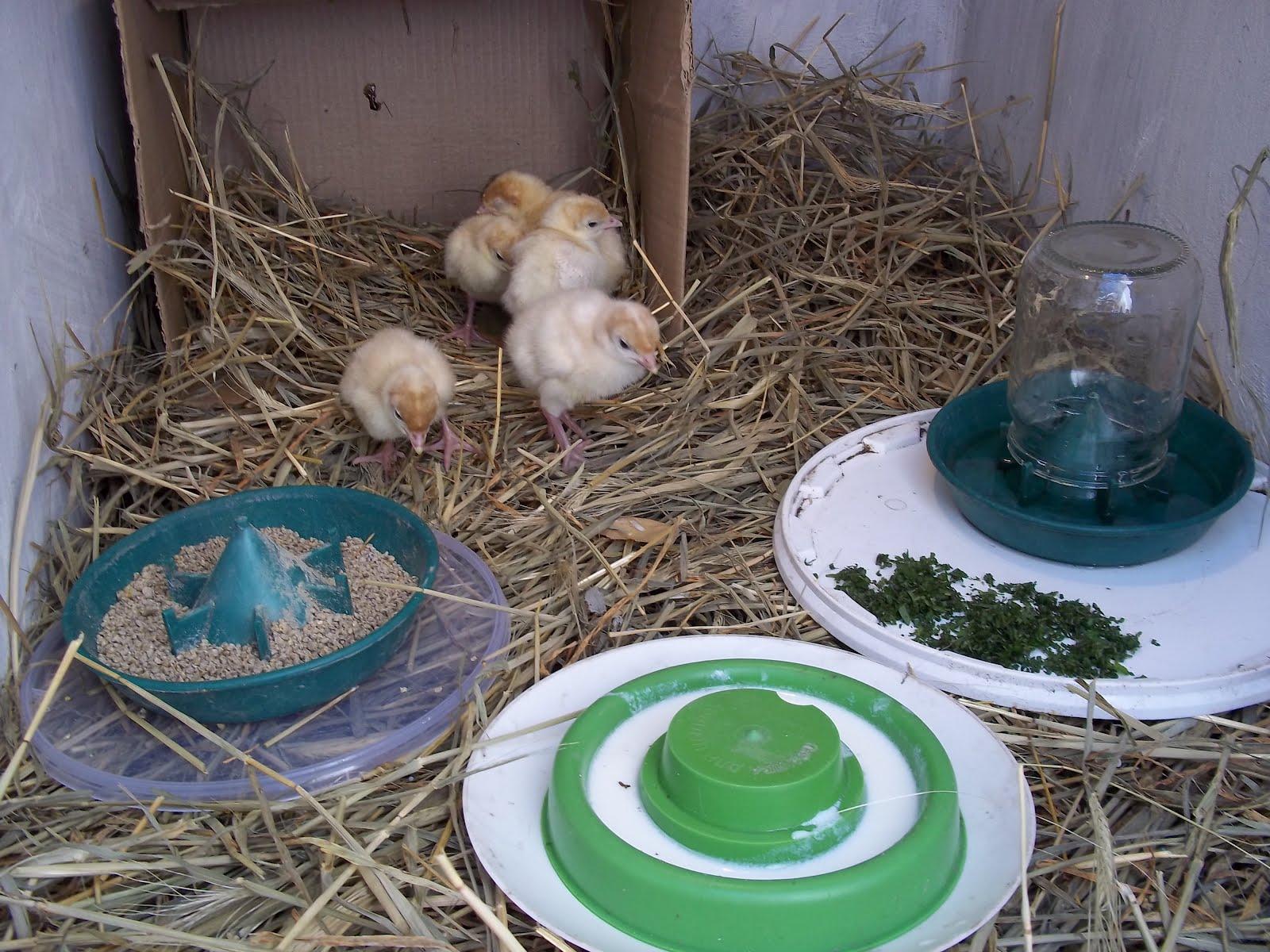Выращивание и разведение индюков в домашних условиях