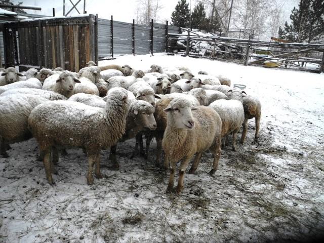 Разведение баранов на мясо как бизнес: овцеводство для начинающего, план как и с чего начать