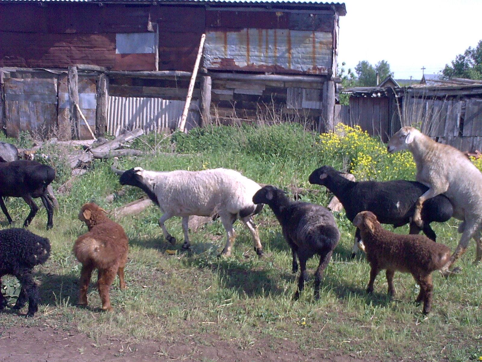 Курдючный баран: описание породы и ее разновидности, содержание и кормление курдючных овец