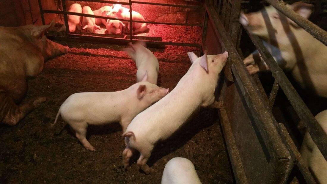 Разведение свиней: особенности свиноводства, как правильно содержать, кормить и разводить