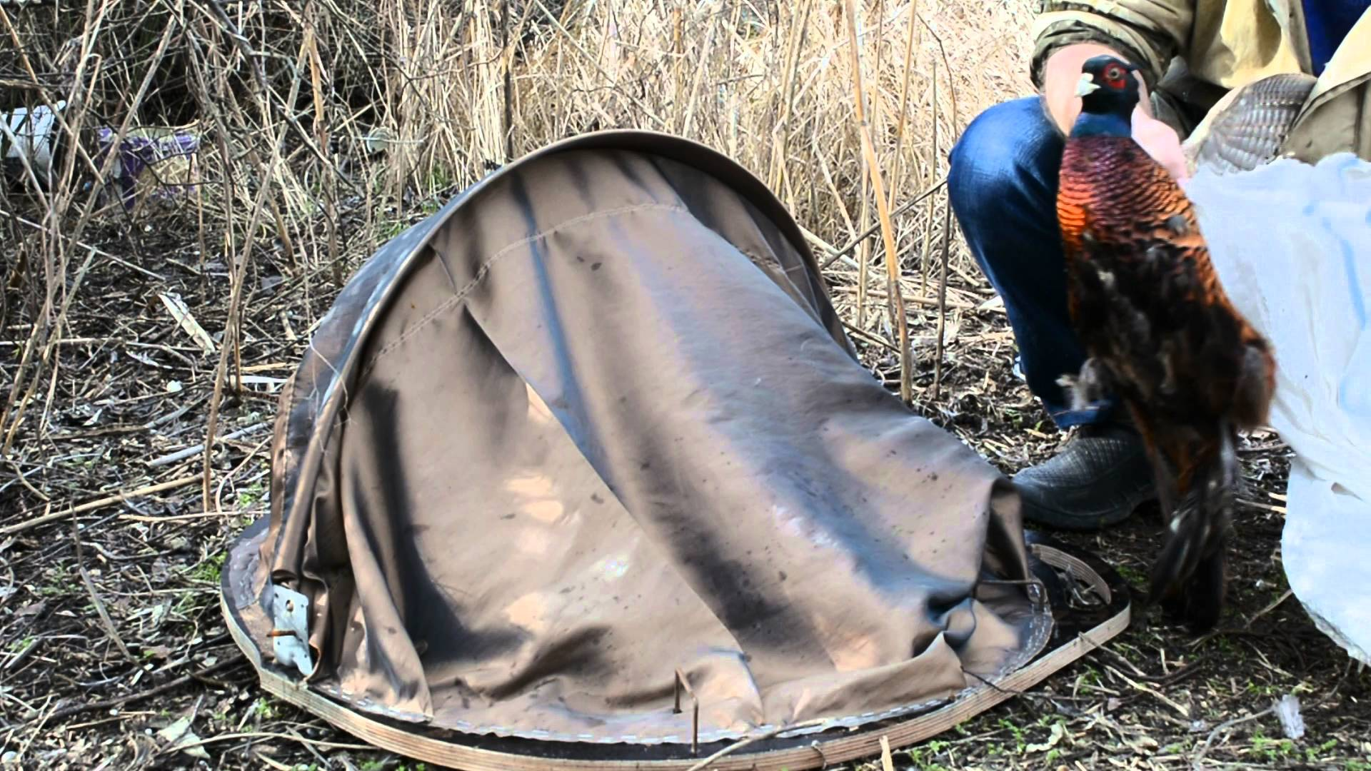 Как поймать фазана: ловушки,петли, крючки и другие способы