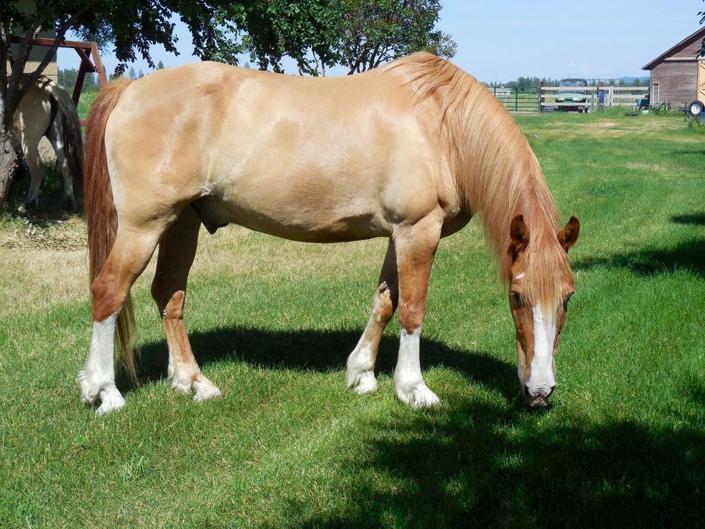 Каурая – «дикая» масть лошадей. описание с фото и видео