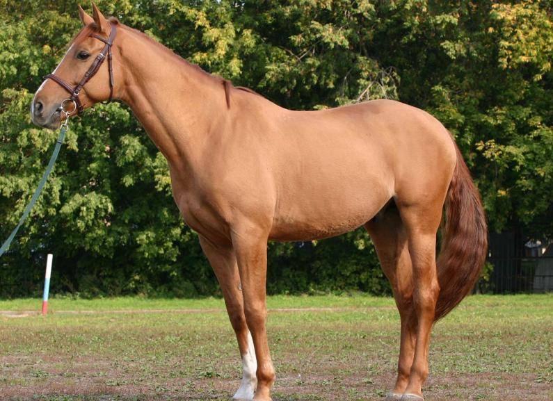 Буденновская лошадь: история появления и особенности содержания