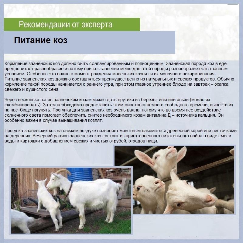 Альпийская порода коз - характеристики породы с фото и видео | россельхоз.рф