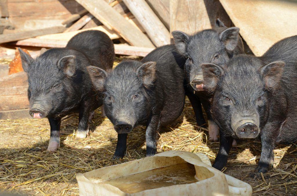 Разведение вьетнамских вислобрюхих свиней в домашних условиях