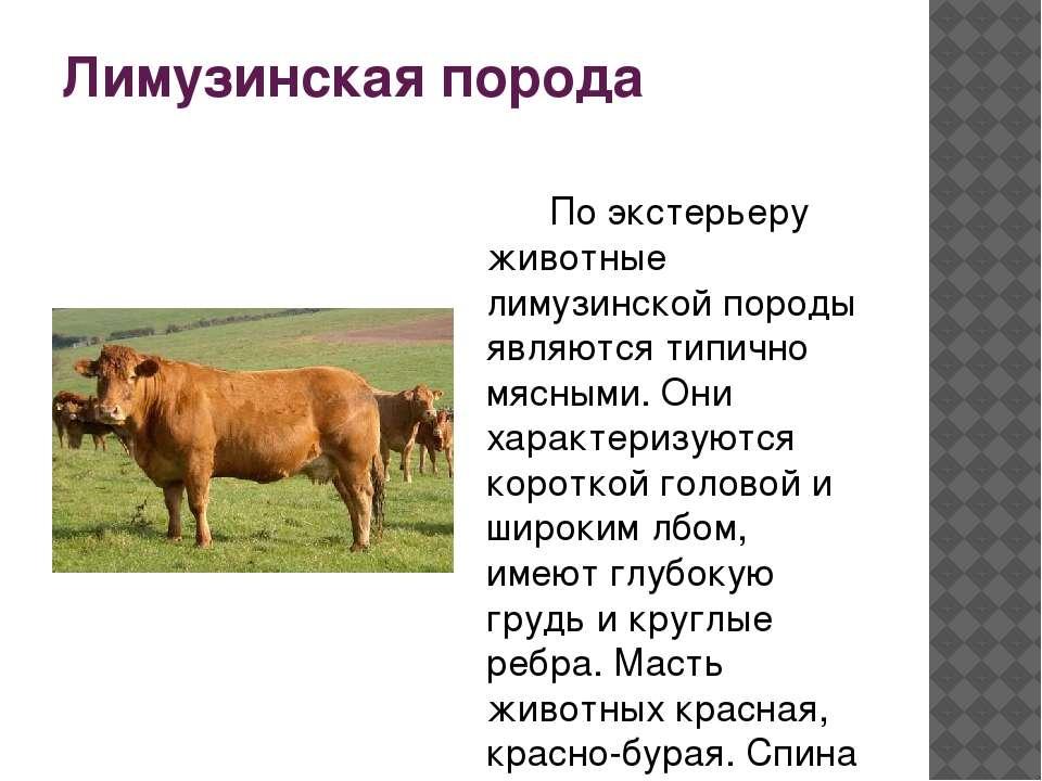 Все о коровах лимузинской породы