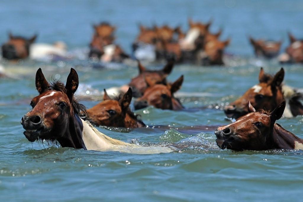 Умеют ли лошади плавать? как научить лошадь плавать?