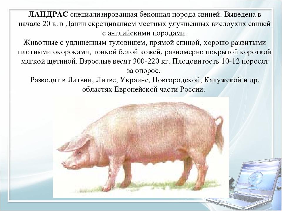 Ландрас порода свиней: характеристика и порядок содержания!