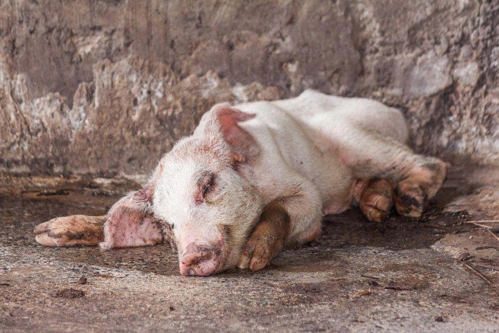 Почему свиньи плохо едят и не растут: особенности питания и кормления домашних свиней