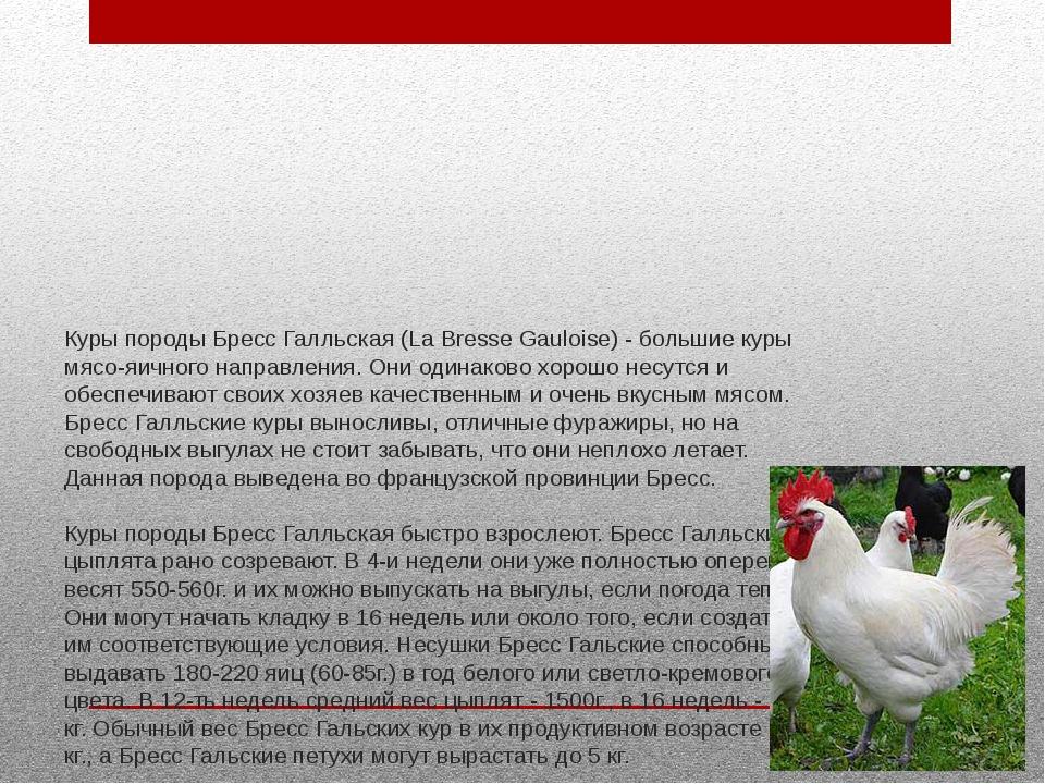 Бройлеры больше не нужны — бресс гальская порода кур