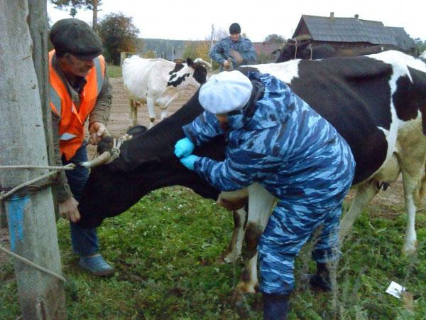 Туберкулез животных и птиц: причины, симптомы, особенности туберкулинизации крс