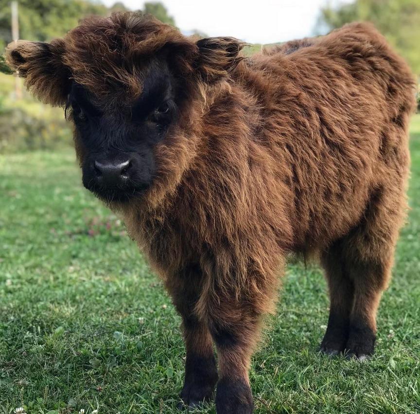 Плюшевая корова: характеристика породы и особенности ее содержания. плюшевая корова: описание породы, правила ухода, преимущества | milklife
