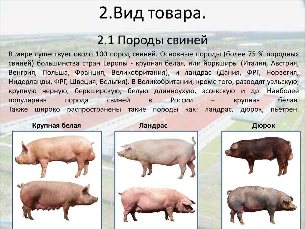 Порода свиней дюрок: характеристика и описание, нюансы содержания, а также как выращивать мясную породу поросят и сравнение с ландрасами - кто лучше?