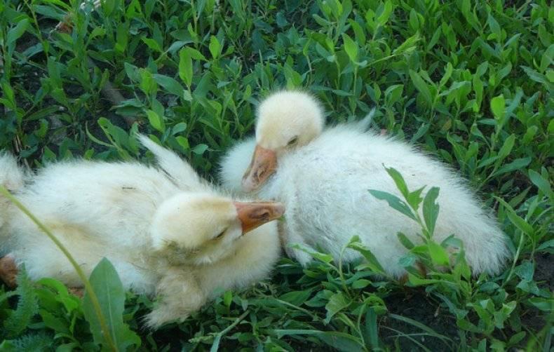 Что делать, если утки выщипывают перья?