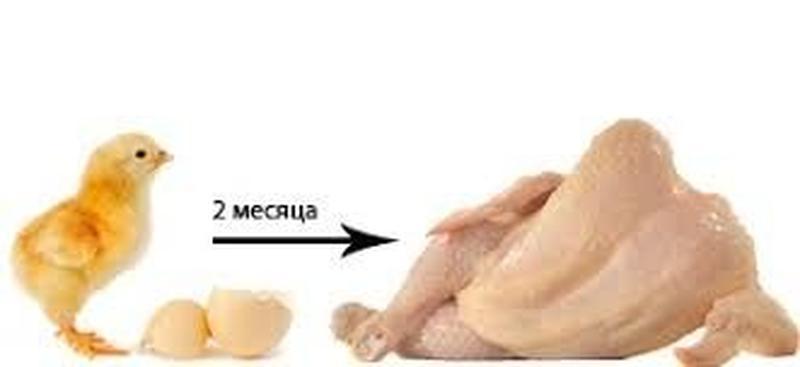 Как развивается цыпленок в яйце. стадии развития цыпленка в яйце. что такое овоскопирование
