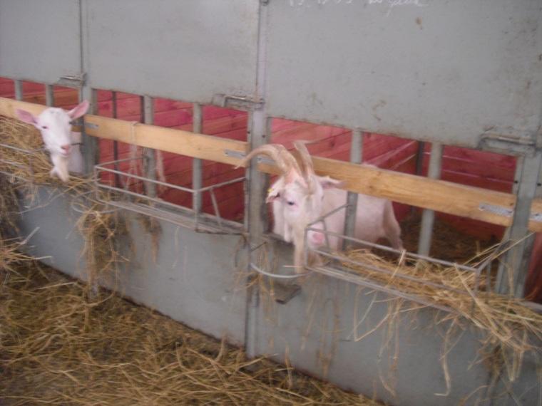 Содержание коз зимой: требования к помещению, кормам, советы по уходу