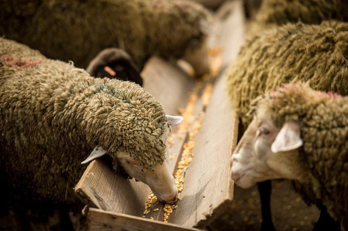 Разведение баранов: питание, уход и содержание