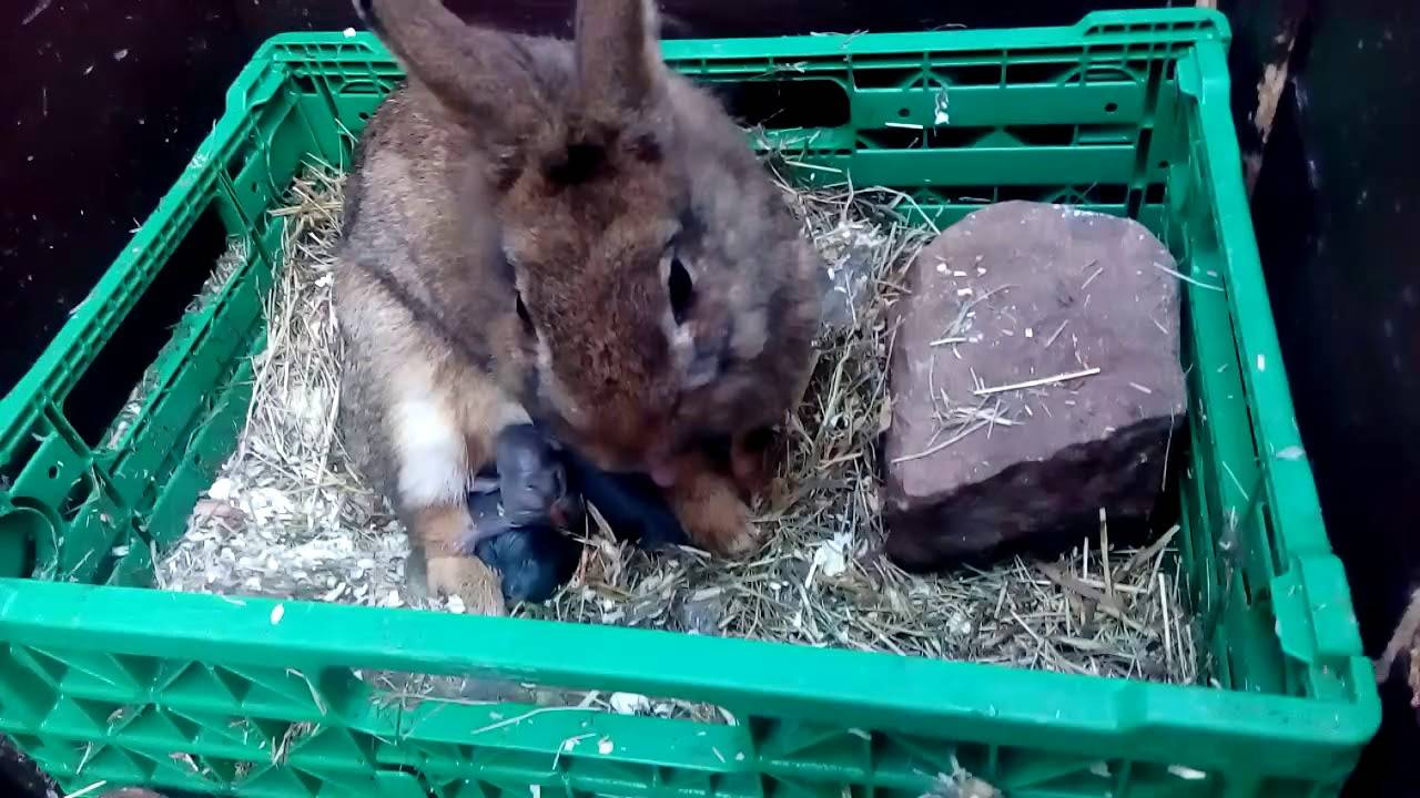 Об окроле крольчихи: сроки, что делать дальше, советы для начинающих || крольчиха рвет пух когда окрол
