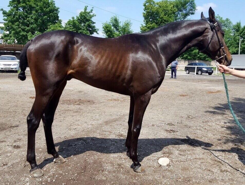 Кабардинская лошадь