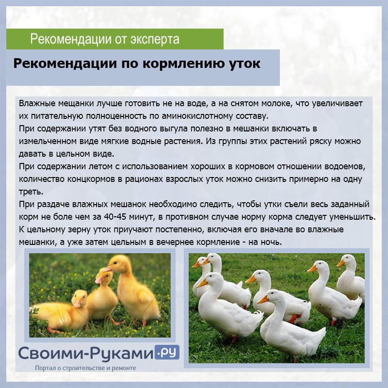 Бройлерные утки: выращивание, кормление в домашних условиях