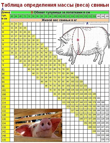 Как определить вес свиньи без весов, таблица роста поросят