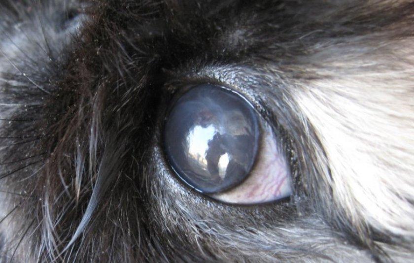 У кролика гноятся глаза: что делать, как лечить
