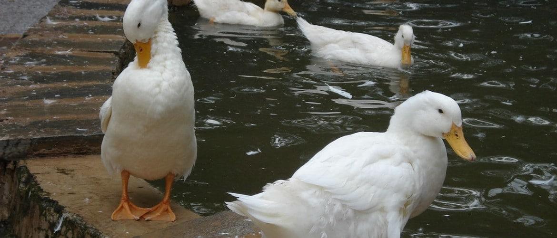 Утки и утята падают на ноги и дохнут: почему, что делать и как лечить - гид по огороду