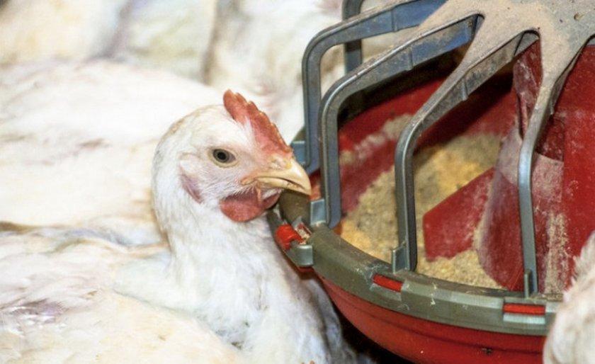 Диарея у домашней птицы: как лечить понос у кур-несушек