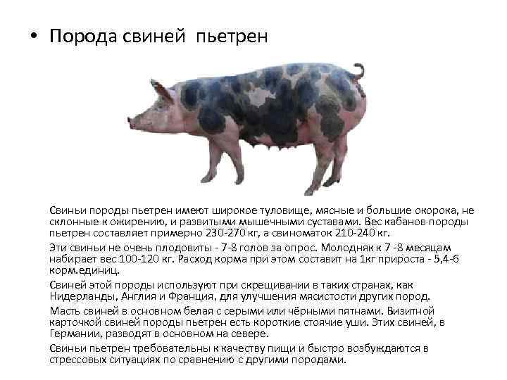 Породы свиней: дюрок - описание, фото и видео