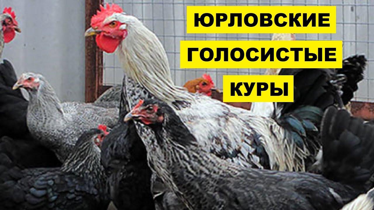 Описание породы кур юрловская голосистая