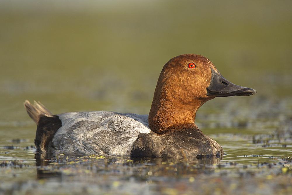 ᐉ нырок птица фото черная, утки нырки - zoo-mamontenok.ru