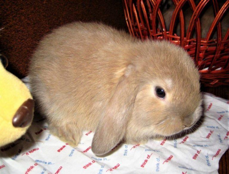 Вислоухий кролик — карликовый баран