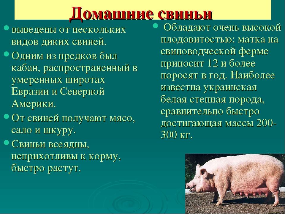 Все о свиноматке: оплодотворение, сколько ходит беременная, особенности