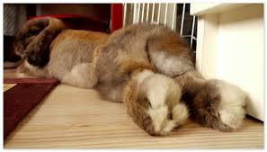 У кролика отказали задние лапы — что делать