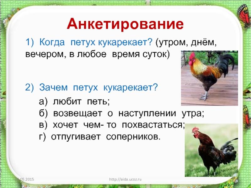 Кричит петух: во сколько и почему кричит птица в разных странах всю ночь или на заре, когда они начинают и характеристика этого