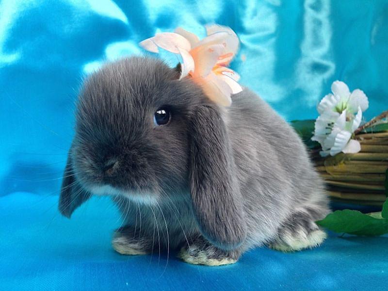 Мини кролик: как выглядят, описание и характеристика, уход и содержание в домашних условиях