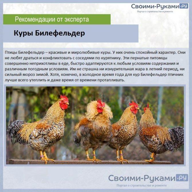 Мясные породы кур: описание, популярные виды, названия и фото