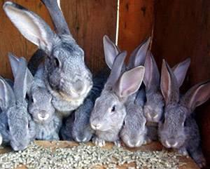 Кролики шиншилла: описание, выбор, уход, размножение