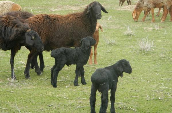 Характеристика и разведение гиссарской породы овец