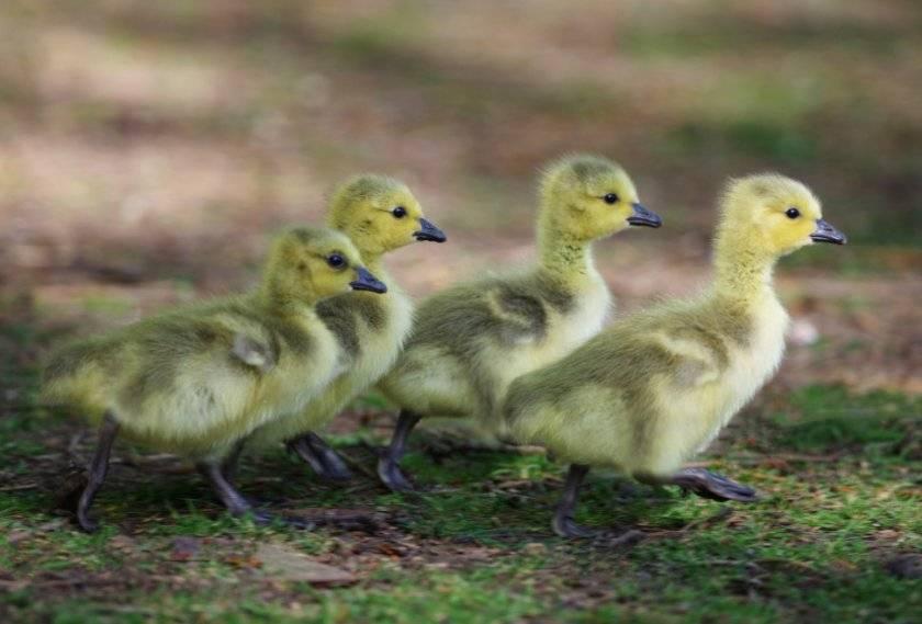 Почему индоутки падают на ноги чем лечить, утки плохо едят, что делать?