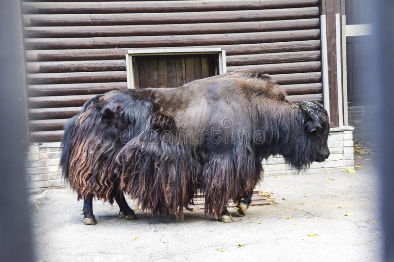 Плюшевая корова: происхождение, описание породы и уход за ней