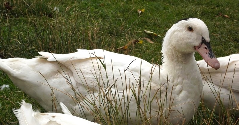 ✅ почему утки щипают перья друг у друга: утята едят перья, что делать - tehnomir32.ru