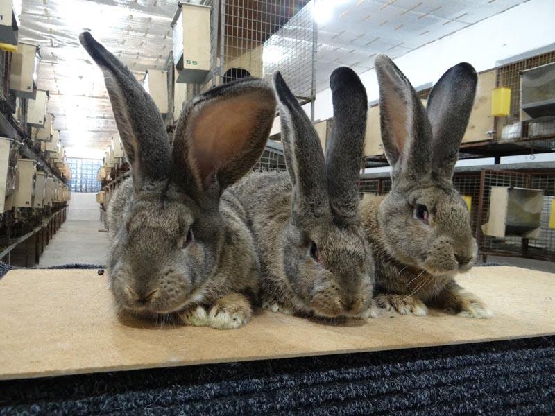 Белый великан порода кроликов: содержание и перспективы разведения — cельхозпортал